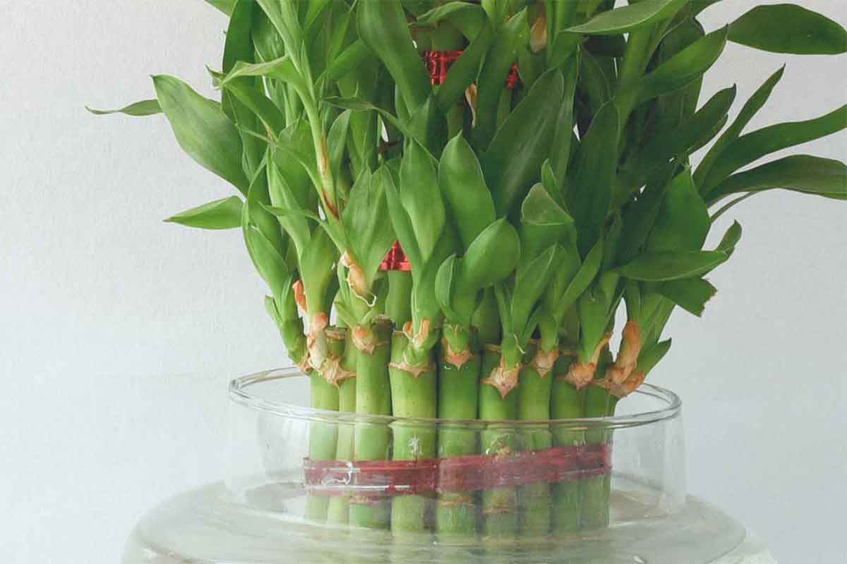 how to keep bamboo plant at home